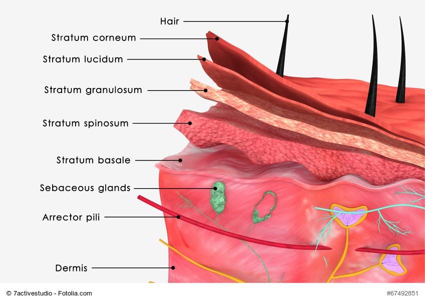 Die menschliche Haut besteht aus vielen Schichten, deren Funktion vielseitig ist