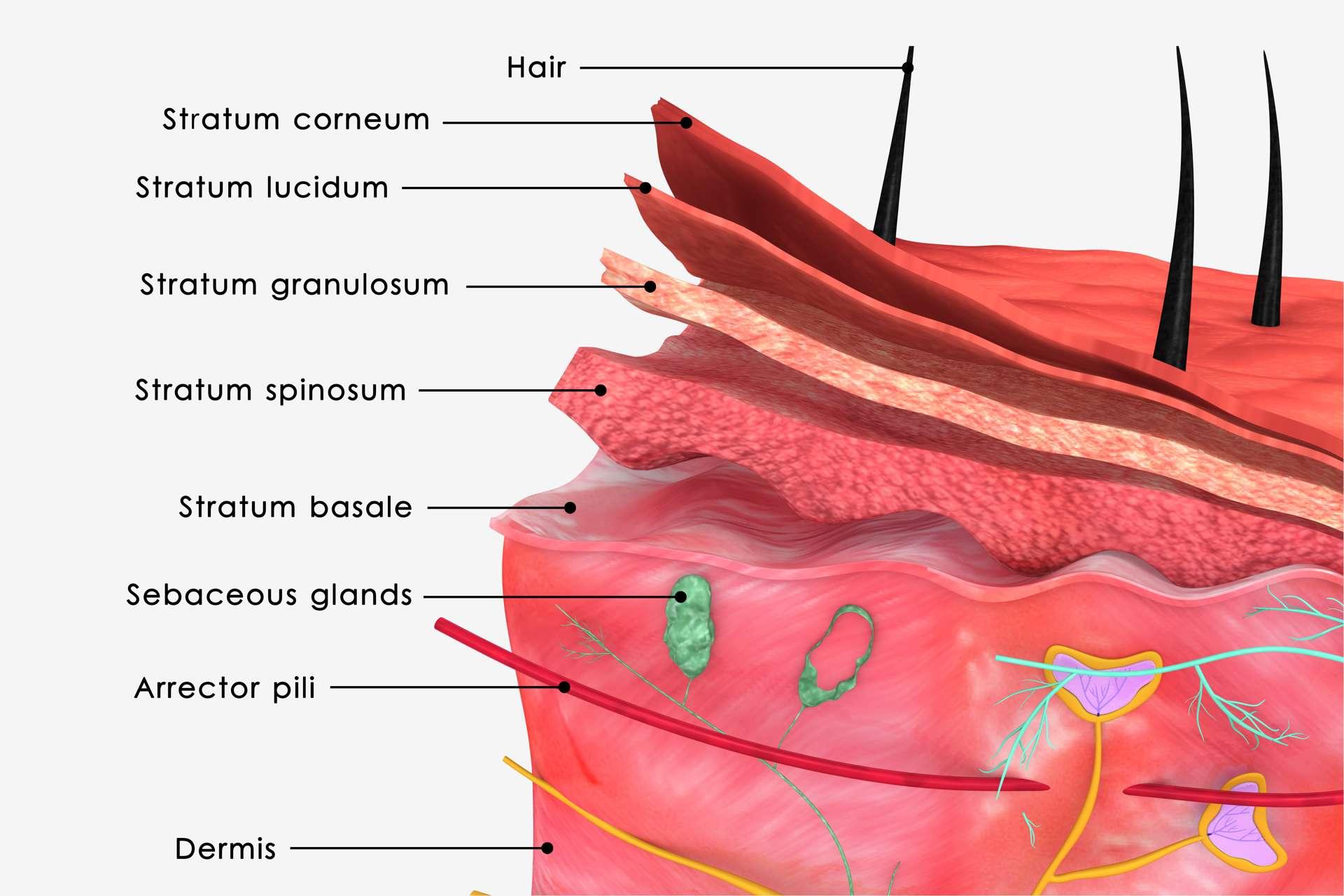 Die menschliche Haut ist das größte Kontaktorgan.